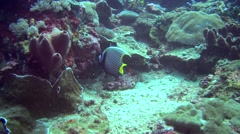 Emperor angelfish (Pomacanthus imperator) eating Stock Footage