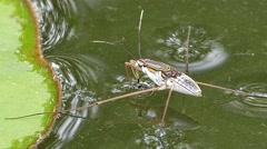 Water strider (Gerridae) walking on water. Stock Footage