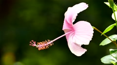 Pink hibiscus flower. Stock Footage