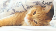Cute ginger cat lying in bed under a blanket. Fluffy pet comfortably settled to Stock Footage