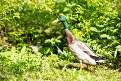 The mallard or wild duck - Anas platyrhynchos Kuvituskuvat