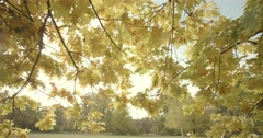 Yellow leaves of oak illuminated by sunlight in slow motion Stock Footage
