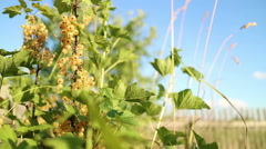 White currants. Organic farming. Stock Footage