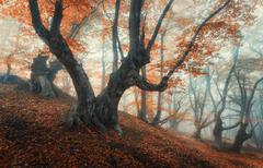 Mystical autumn forest in fog. Magical old trees in clouds Stock Photos