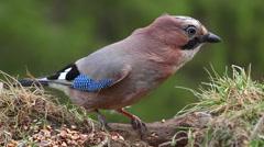 Eurasian jay bird feeds on nuts and seeds at birdfeeder Stock Footage
