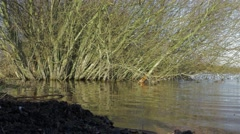 Background tree growing out of rippling water at Chasewater resevoir Stock Footage