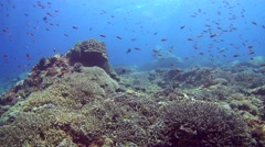 Field of acropora and soft coral with cloud of colorful anthias Stock Footage
