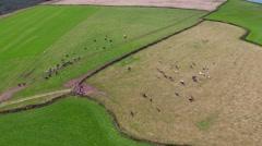 Cows in Field: Drone Shot HD Stock Footage