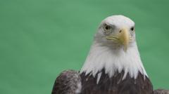 Bald eagle looking vigilant on green screen Stock Footage