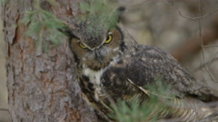 Horned owl hunting prey from a tree perch Stock Footage