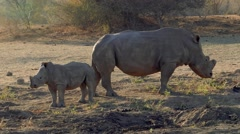 Rhino calf with mother Stock Footage