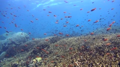 Drift over a huge field of acropora coral with cloud of anthias and damselfishes Stock Footage
