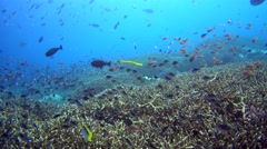 Huge field of acropora coral with cloud of anthias, damselfishes and trumpetfish Stock Footage
