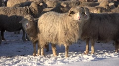4K Herding Sheep in Snow Winter Mountains, Flock of Lambs Grazing Hill, Pastoral Stock Footage