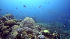 Hard and soft coral reef with cloud of sergeantfishes swimming Stock Footage