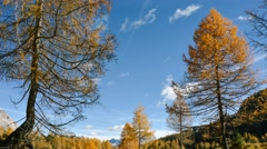 Larch forest in autumn Stock Footage