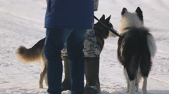 Siberian sled dogs Stock Footage