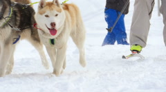 Husky dogs and woman athlete during skijoring competitions Stock Footage