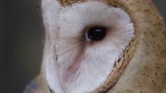 Barn owl macro of feathers on breast Stock Footage