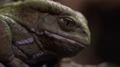 Wax Frog side profile in jungle Stock Footage