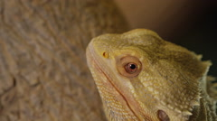 Bearded dragon close up look away from camera Stock Footage