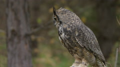 Horned Owl spots his prey Stock Footage