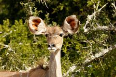Greater Female Kudu with sharp ears Stock Photos