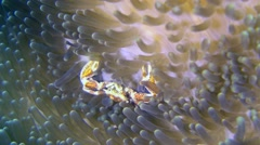 Spotted porcelain crab (Neopetrolisthes maculatus) in anemone Stock Footage