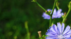 Blooming chicory close up. Coffee substitute. Stock Footage