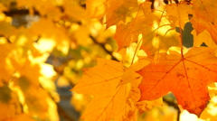 Fall Leaves, Trees, Colorful, Autumn, Foliage Stock Footage