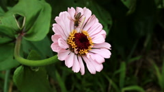 Bee Gathering Pollen On Pink Flower With Yellow Stock Footage