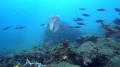 Broadclub cuttlefish (Sepia latimanus) changing color with glimpse of the mouth Stock Footage