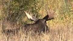Bull Shiras Moose Bedded in the Fall Rut Stock Footage