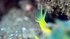 Ribbon eel blue and yellow, close up on mouth and teeth Stock Footage