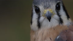 Kestrel close up in the forest - natural bird Stock Footage