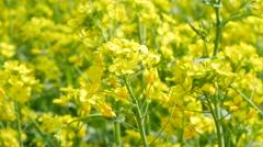 Gyeongsan, Korea Swaying Rape Canola flowers in a field Stock Footage