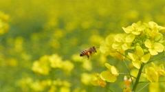 Gyeongbuk, KOREA Flying honeybee on Rape canola Stock Footage