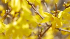Gyeongbuk, Korea Beautiful spring in forsythia flowers Stock Footage