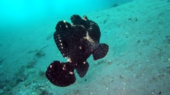 Giant frogfish (Antennarius commerson) black, swimming over sand Stock Footage