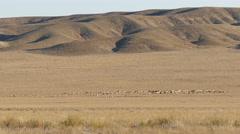 Pasture Sheep Kazakhstan Steppe 4K Stock Footage