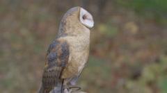 Barn Owl in Autumn landscape Stock Footage