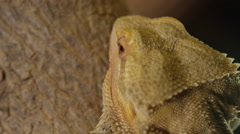 Bearded dragon close up macro of head and skin Stock Footage