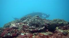 Manta ray (Manta blevirostris) from side, close up Stock Footage