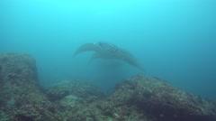 A few manta ray (Manta blevirostris) swimming towards camera Stock Footage