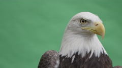 Bald eagle close up face on green screen side Stock Footage