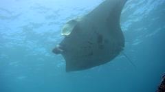 Manta ray (Manta blevirostris) from below Stock Footage