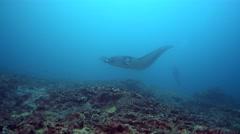 Giant manta ray (Manta birostris) with broken cephalic fin Stock Footage