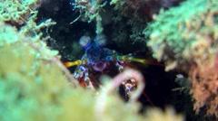 Harlequin smashing mantis shrimp (Odontodactylus scyllarus), close up head Stock Footage