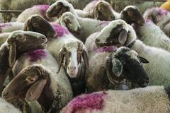 Herd of sheep  in the countryside Stock Photos