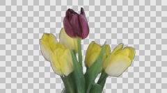Time-lapse of opening mixed color tulips bouquet with ALPHA channel Stock Footage